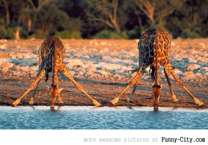Just a couple of giraffes drinking water