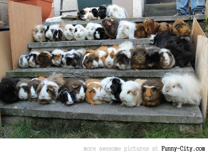 Senior class picture of guinea pigs