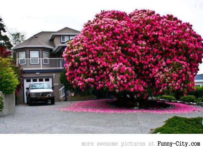 Huge rhododendron tree.