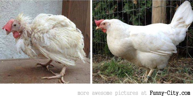 A battery caged chicken. Here she is, 3 months later outside the cage!