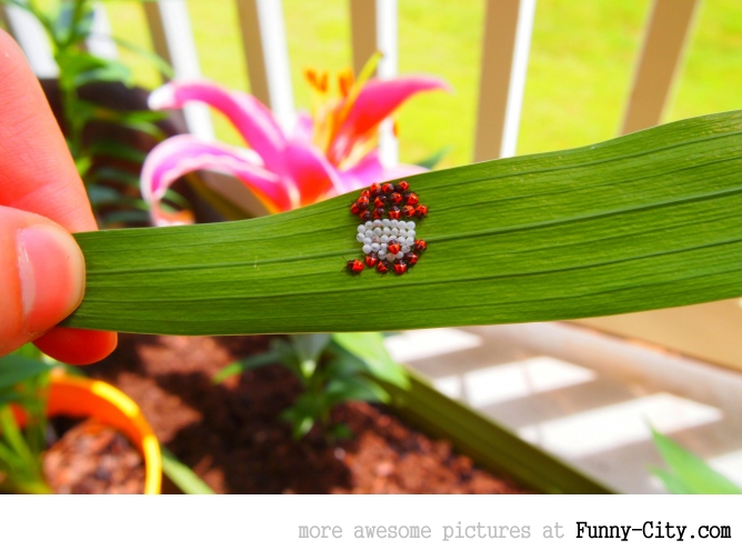 Hatching baby ladybugs