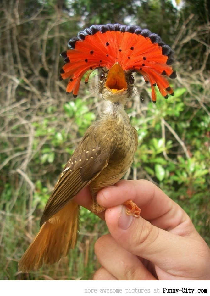Meet the Royal Flycatcher