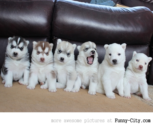 50 shades of huskies