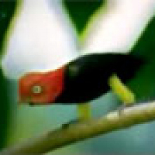 Moon Walking Red-Capped Manakin bird