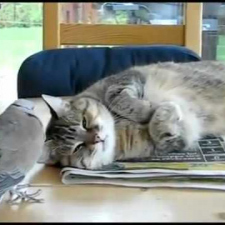 Bird pisses off sleeping Cat