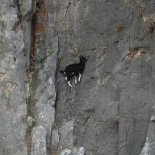 Goats are literally masters of physics