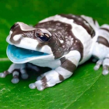 Meet the Amazon milk frog