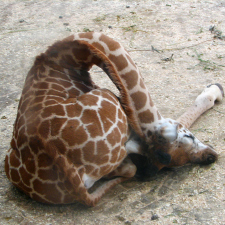 How giraffes sleep